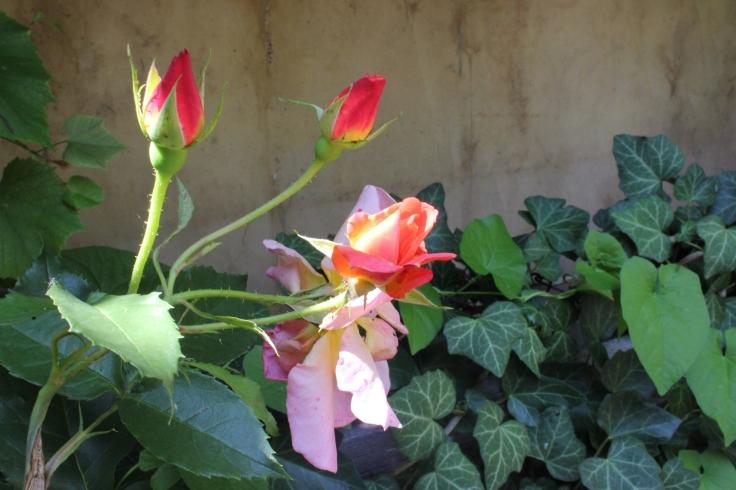 Mum's pink roses