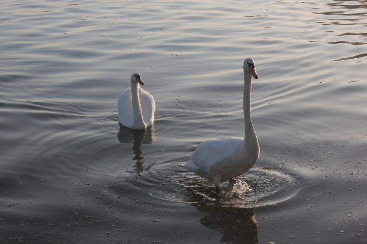 Swans on the  Madine lake