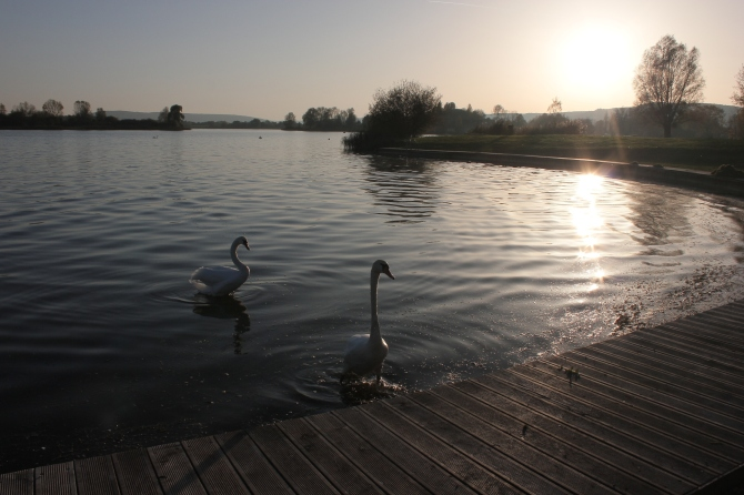 Swans on the  Madine lake